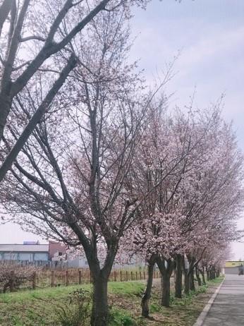 桜④ (2)