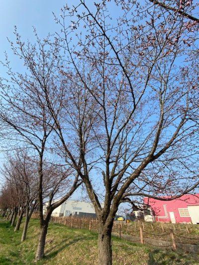 桜のつぼみ②