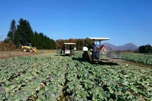 キャベツ収穫スタッフ(派遣)の職業、求人イメージ写真
